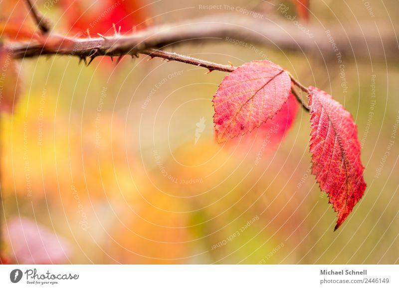 Rote Blätter Umwelt Natur Pflanze Herbst Blatt einfach Freundlichkeit schön natürlich rot träumerisch Farbfoto mehrfarbig Außenaufnahme Nahaufnahme