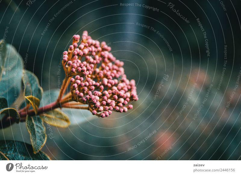 Blütenstand ungeöffneter Blüten von Viburnum tinus Medikament Sommer Garten Umwelt Natur Pflanze Baum Blume Sträucher Blatt Grünpflanze Nutzpflanze Wildpflanze