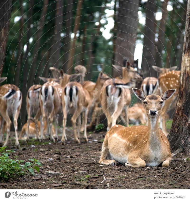 schau mir in die augen Natur Landschaft Pflanze Tier Sommer Gras Sträucher Moos Grünpflanze Park Nutztier Wildtier Fell Reh Rehkitz Rehauge Tiergruppe Herde