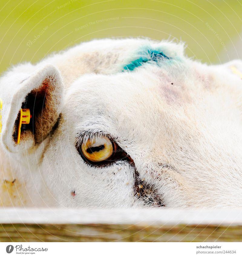Guck nicht so! Natur Tier Haustier Nutztier Schaf 1 Holz listig lustig Neugier Ovis orientalis aries Hausschaf Caprinae Bovidae Kopf Augen Ohren Zaun Farbfoto