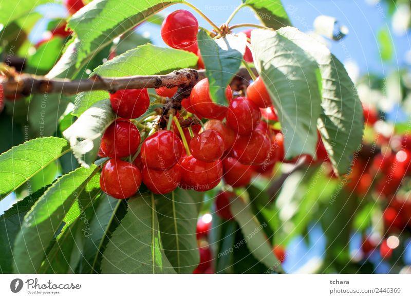 Kirschen auf einem Baum Frucht Dessert Essen schön Sommer Garten Natur Landschaft Pflanze Klima Blatt Wachstum frisch lecker saftig grün rot Farbe Obstgarten