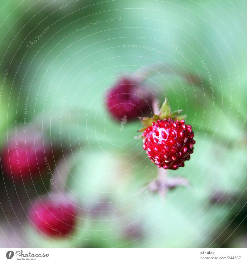 Waldbeeren Frucht Natur Sommer Pflanze Wildpflanze Erdbeeren Wilde Erdbeeren frisch klein lecker natürlich saftig grün rot Vitamin Fruchtfleisch Samen rund