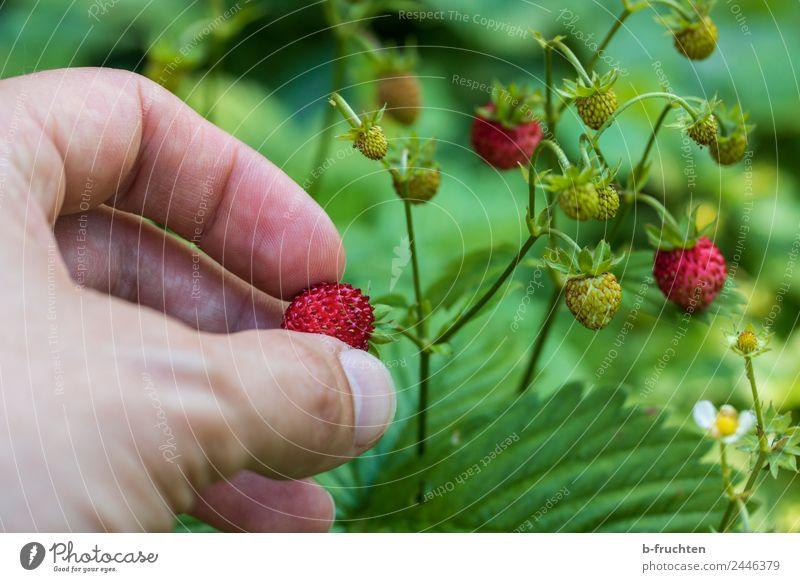 Walderdbeeren pflücken Lebensmittel Frucht Mann Erwachsene Hand Finger Sommer festhalten Wald-Erdbeere Beeren Süßwaren reif Ernte geschmackvoll Farbfoto
