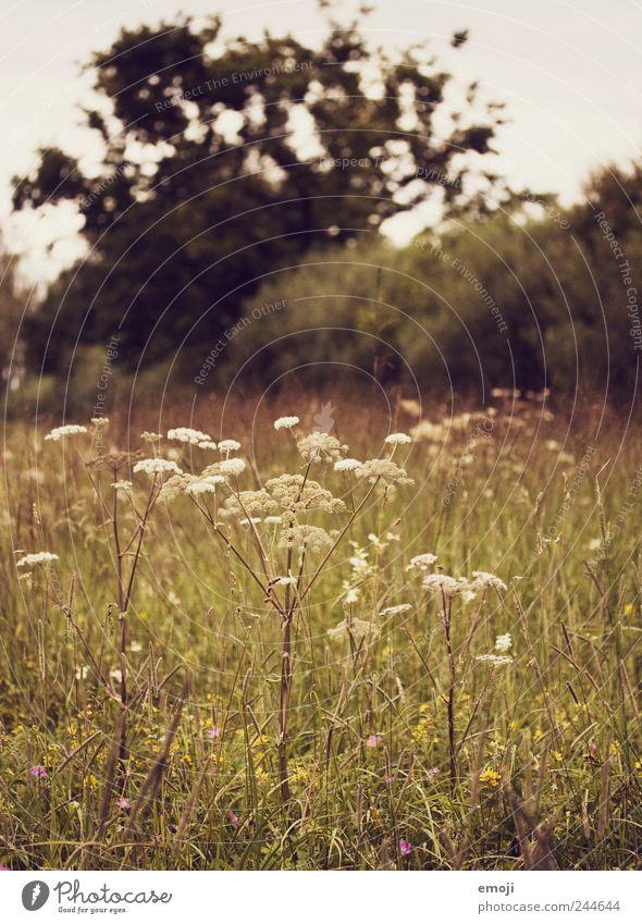 wilde Natur Pflanze Wiese Landschaft Gras braun Sträucher Grünpflanze Gewöhnliche Schafgarbe