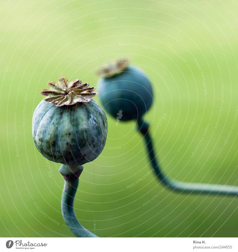 Dialog Natur Pflanze Mohn Mohnkapsel natürlich grün Vergänglichkeit Farbfoto Außenaufnahme Menschenleer Schwache Tiefenschärfe