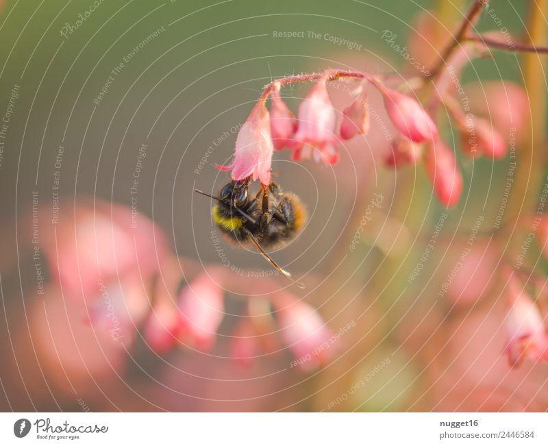 Hummel Umwelt Natur Pflanze Tier Sonne Frühling Sommer Herbst Klima Wetter Schönes Wetter Blume Blatt Blüte Wildpflanze exotisch Garten Park Wildtier Biene