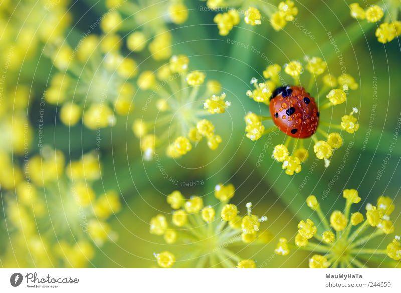 Marienkäfer Natur Pflanze Wasser Wassertropfen Sonnenaufgang Sonnenuntergang Sommer Blume Gras Blatt Blüte Garten Feld 1 Tier authentisch frei gut schön klein