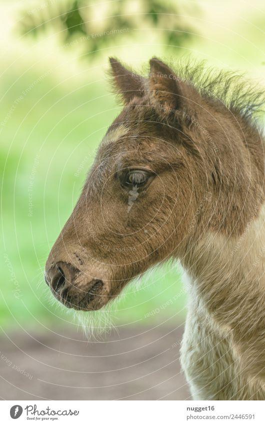 Fohlen I Umwelt Natur Tier Frühling Sommer Herbst Klima Wetter Schönes Wetter Gras Garten Park Wiese Feld Haustier Nutztier Pferd Tiergesicht Fell Zoo