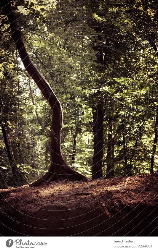 Magic Tree Natur Landschaft Erde Sommer Pflanze Wald schön Farbfoto Gedeckte Farben Außenaufnahme Menschenleer Tag