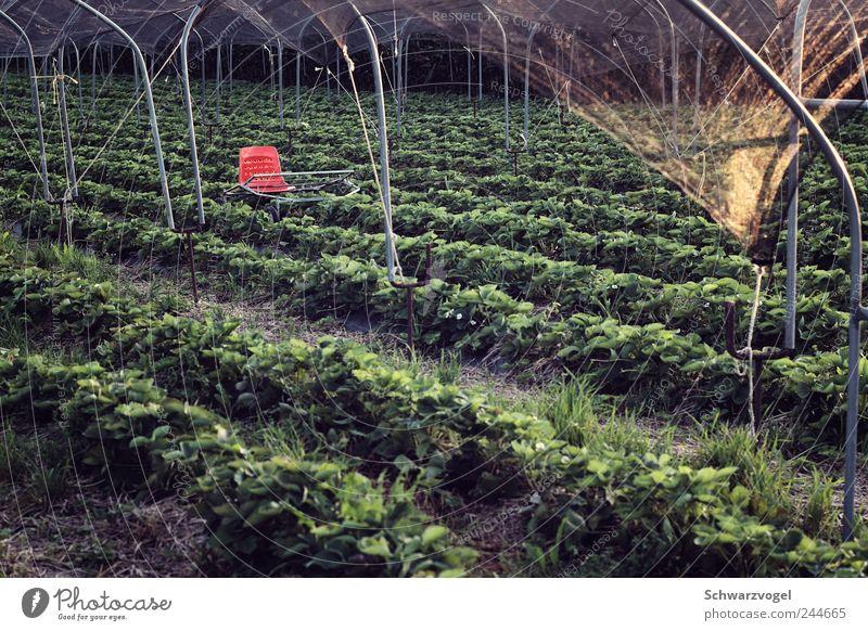Amtssitz des Herrn Held von und zu Erdbeerfeld Natur grün rot Pflanze Sommer Arbeit & Erwerbstätigkeit Feld Lebensmittel Frucht Erde sitzen Wachstum Stuhl