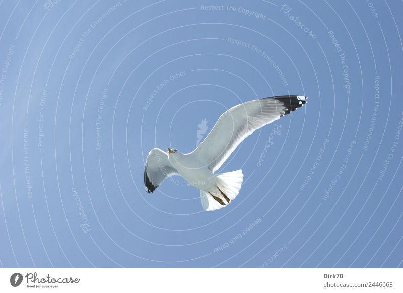 Leichtigkeit des Seins - Weißkopfmöwe über dem Marmarameer Natur Tier Himmel Wolkenloser Himmel Frühling Schönes Wetter Wärme Meer Istanbul Wildtier Vogel