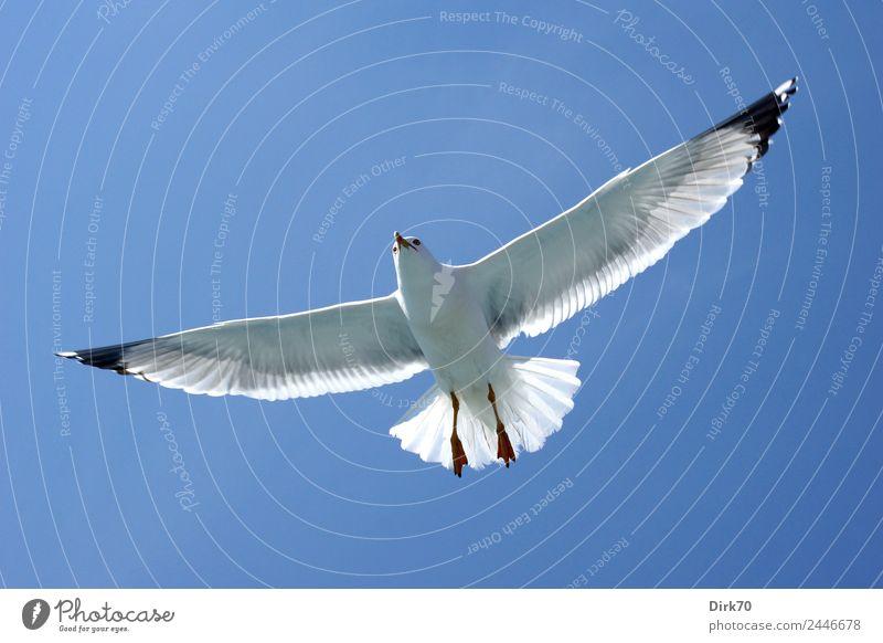 Spread your wings - Möwe im Flug Natur Wolkenloser Himmel Sonnenlicht Frühling Schönes Wetter Wärme Istanbul Türkei Tier Wildtier Vogel Weißkopfmöwe Meeresvogel