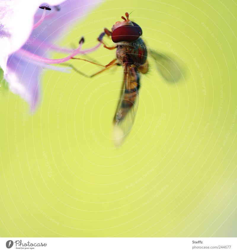 präzise andocken Schwebfliege Fliege Leichtigkeit filigran leicht zart dünn natürlich angedockt hellgrün Blütenkelch Fressen klein nah violett grüngelb lila