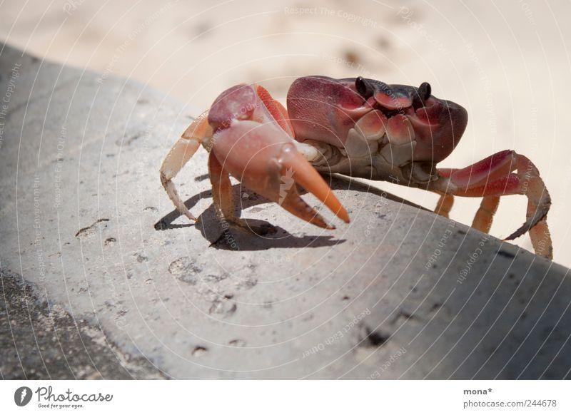 Krabbe am klettern Natur rot Sommer Strand Ferien & Urlaub & Reisen Tier Sand klein Beine Klettern krabbeln Schere Bordsteinkante Krebstier Krustentier