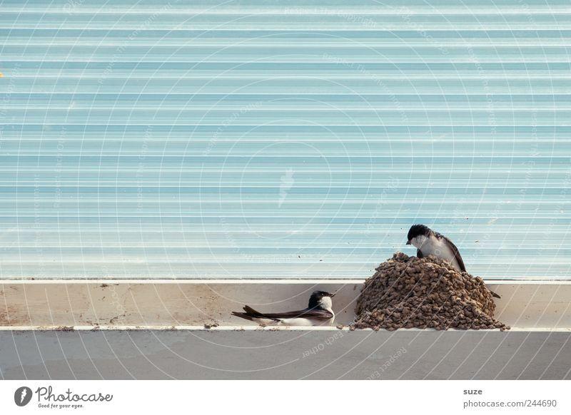 Du kommst hier nicht rein! Tier Vogel Linie Wildtier wild Tierpaar Streifen Dach Kunststoff tierisch Tierliebe hell-blau Nest Textfreiraum links Schwalben