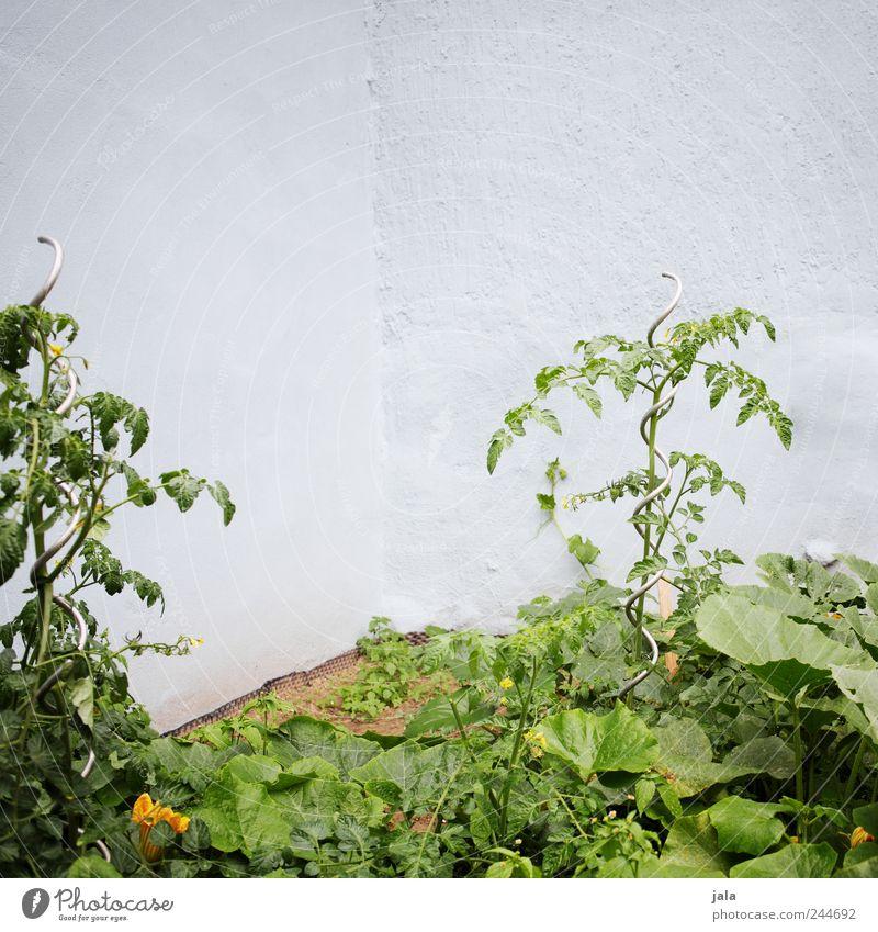 auch in fremden höfen... Natur grün blau Pflanze Garten Umwelt Fassade natürlich Tomate Grünpflanze Nutzpflanze Zucchini