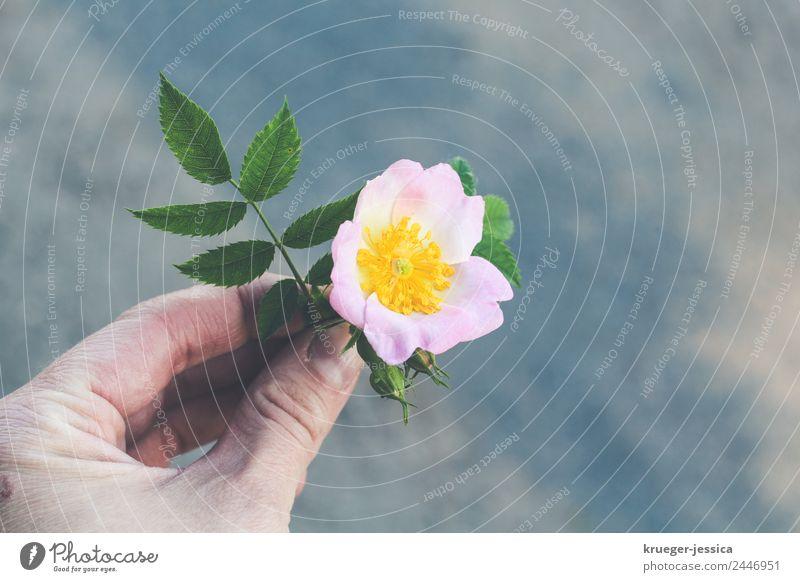 Heckenrose Pflanze Luft Rose Blüte Wildpflanze Feld Dorf Blühend Duft rosa Gelassenheit Farbfoto Außenaufnahme Nahaufnahme Menschenleer Textfreiraum rechts