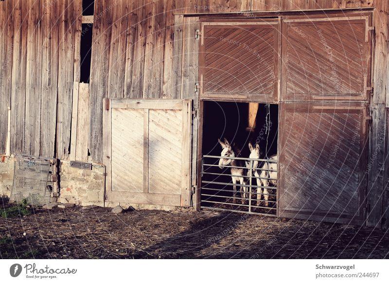 Eselei hoch drei Landwirtschaft Forstwirtschaft Bauwerk Gebäude Tür Tier Haustier Nutztier Holz braun Stall gefangen Pferch Tor iiii-aaaah! herausschauen warten