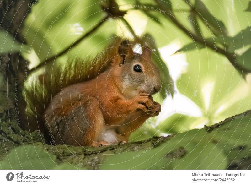 Fressendes Eichhörnchen im Baum Natur grün Tier Blatt Wald Essen gelb Auge klein orange leuchten Ernährung Wildtier genießen Schönes Wetter