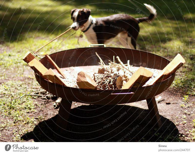 Schröder will Feuer machen Sommer Freude Tier Wiese Glück Hund Freizeit & Hobby Fröhlichkeit Ast Schönes Wetter Haustier fleißig Feuerstelle ansammeln Schatten