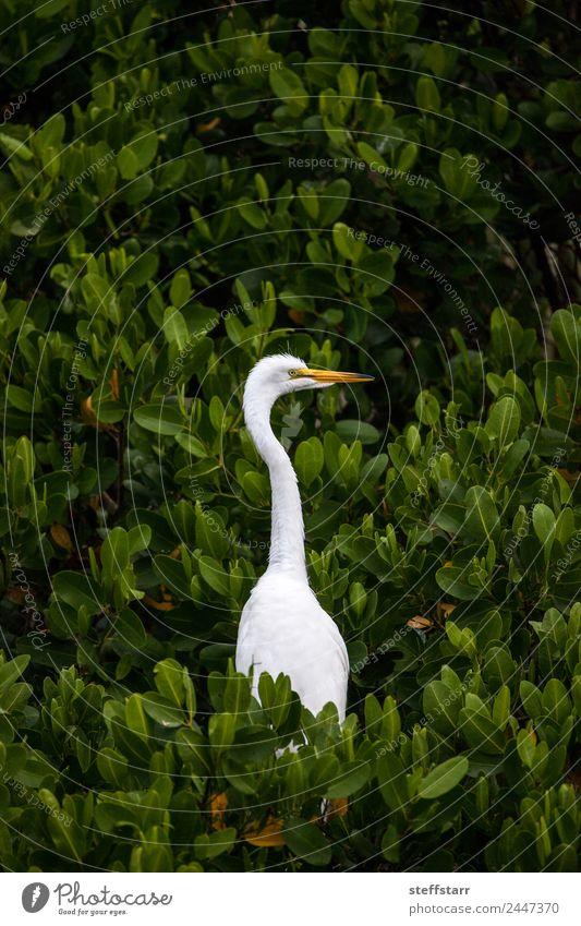 Natur grün weiß Baum Tier Vogel Wildtier exotisch Schnabel Tiergesicht Originalität Entenvögel Reiher Florida Neapel Feuchtgebiete