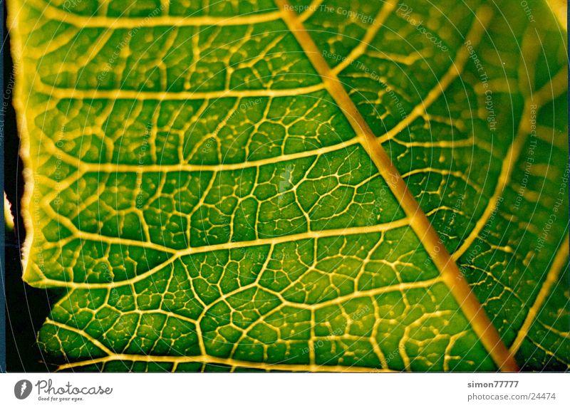 Blatt im Licht grün Gefäße durchleuchtet