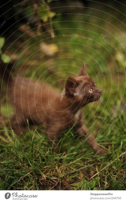 Katzenbaby Natur grün Pflanze Tier Auge Wiese Umwelt Glück braun Tierjunges glänzend frei wild weich niedlich