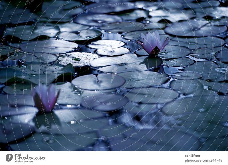 Trauerflor II Natur Pflanze Blume Blatt dunkel Tod Blüte Traurigkeit See Hoffnung Vergänglichkeit Blühend Abschied Teich Anmut