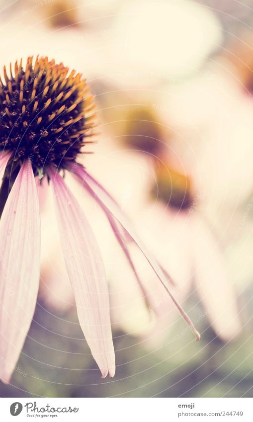 vor dem Herbst Natur Pflanze Blume Sommer Blatt Frühling Garten rosa Duft sanft Blütenblatt Grünpflanze Sonnenhut blütenblattartig