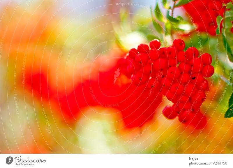 Vogelbeere, Sorbus aucuparia L. rot Ernährung Frucht Tiefenschärfe Vitamin wenige beweglich Beeren Alkohol Marmelade Spirituosen essbar Lebensmittel Vogelfutter