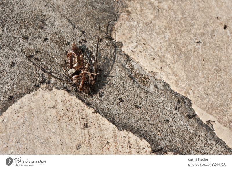 festmahl Totes Tier Fliege Käfer Flügel Tiergruppe Fressen Jagd liegen dehydrieren lecker braun Tod Insekt Zikade Ameise Ameisenstraße grausam Stein Boden