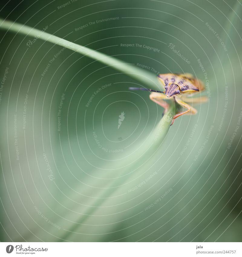 wanze Umwelt Natur Pflanze Tier Grünpflanze Wiese Wildtier Insekt Wanze 1 natürlich Farbfoto Außenaufnahme Menschenleer Tag
