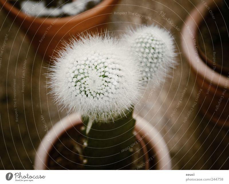 Kaktus Natur grün weiß Pflanze Sommer Garten Park braun Erde Klima Wüste trocken Balkon Schmerz Terrasse exotisch