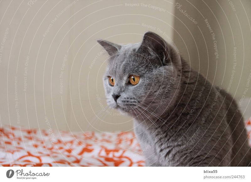 Angriff ... ruhig Tier Katze Wachsamkeit Haustier listig