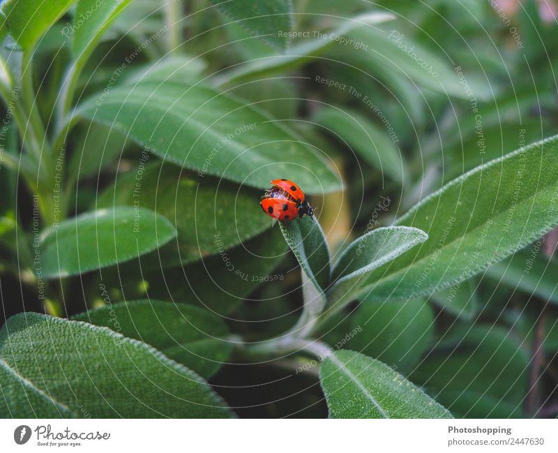 Marienkäfer auf den Salbeiblättern Lebensmittel Kräuter & Gewürze Bioprodukte Vegetarische Ernährung Getränk Tee Sommer Garten Natur Pflanze Frühling