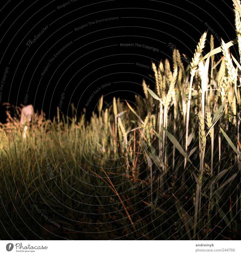 Straßenrand Umwelt Sommer Pflanze Gras Getreide gelb grau grün schwarz Farbfoto Gedeckte Farben Außenaufnahme Nahaufnahme Menschenleer Textfreiraum oben Nacht