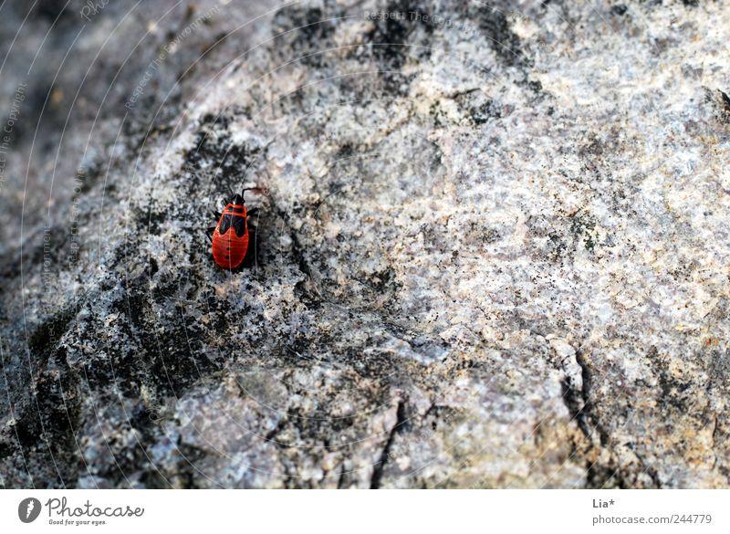 Auf der Mauer, auf der Lauer sitzt ne kleine ... Tier Käfer 1 krabbeln sitzen grau rot Einsamkeit verloren Platz winzig Stein Wanze Farbfoto Außenaufnahme