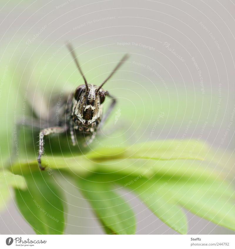 aye aye, sir! Natur Pflanze Tier Sommer Blatt Heuschrecke Insekt Steppengrashüpfer Feldheuschrecken Heimchen Fühler Beine Auge Tiergesicht klein lustig grau