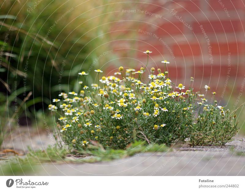 Natur ist überall! Pflanze Blume Sommer Gras Blüte Garten Mauer hell Umwelt Beton Erde natürlich Urelemente Kamille Mauerstein