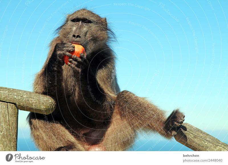 don't feed the baboons II Ferien & Urlaub & Reisen Tourismus Ausflug Abenteuer Ferne Freiheit Himmel Meer Cape Point Südafrika Wildtier Tiergesicht Fell Pavian