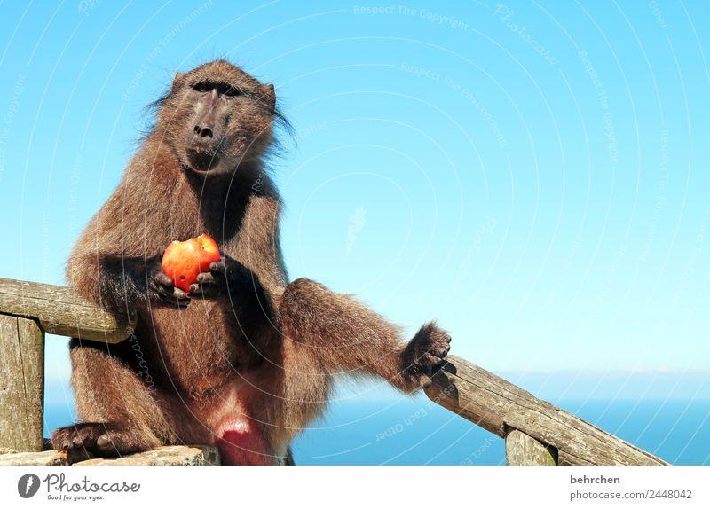 don't feed the baboons I Ferien & Urlaub & Reisen Tourismus Ausflug Abenteuer Ferne Freiheit Himmel Meer Cape Point Südafrika Wildtier Tiergesicht Fell Affen
