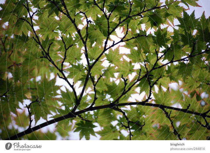 Blätterdach Natur grün Sommer Sonne Blatt hell Schönes Wetter Zweige u. Äste