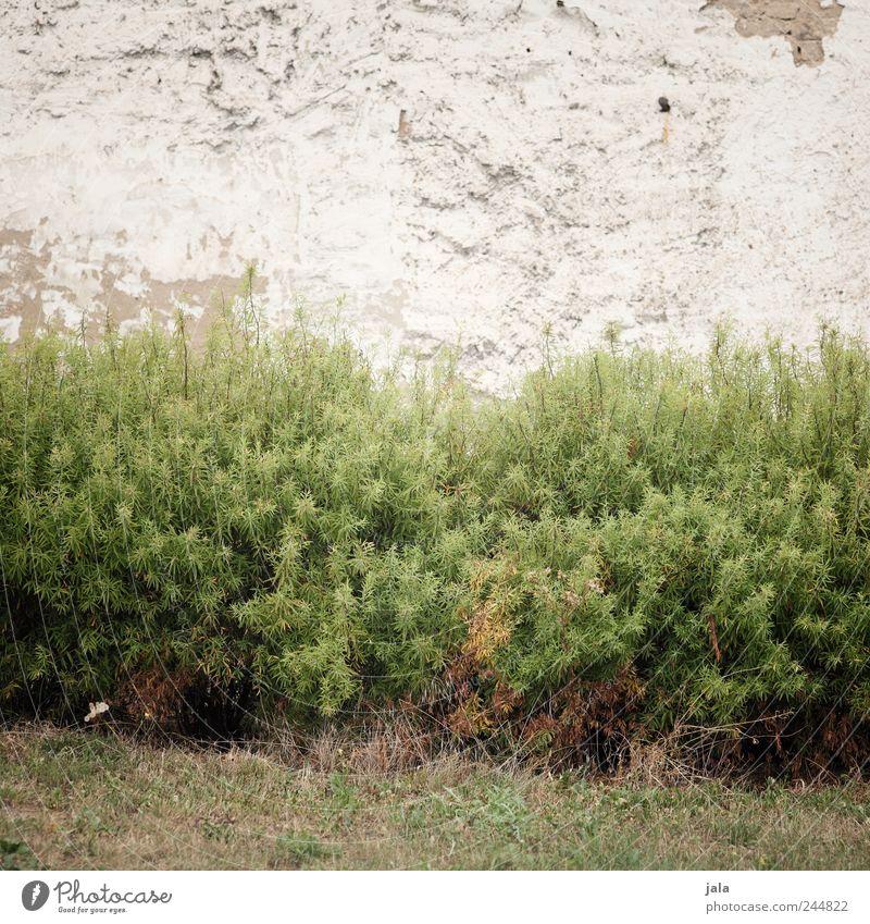 gehölze an fassade Natur Pflanze Wand Gras Mauer Fassade trist Sträucher Grünpflanze
