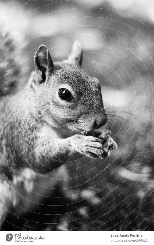zahm. Schönes Wetter Park Wiese Tier Wildtier Fell Krallen Eichhörnchen 1 genießen Schwarzweißfoto Außenaufnahme Tierporträt Blick in die Kamera