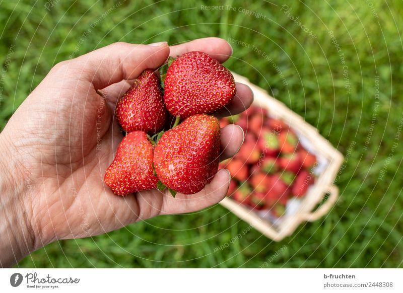 Erdbeerzeit Lebensmittel Frucht Bioprodukte Gesundheit Landwirtschaft Forstwirtschaft Mann Erwachsene Hand Finger Gras wählen festhalten frisch rot genießen