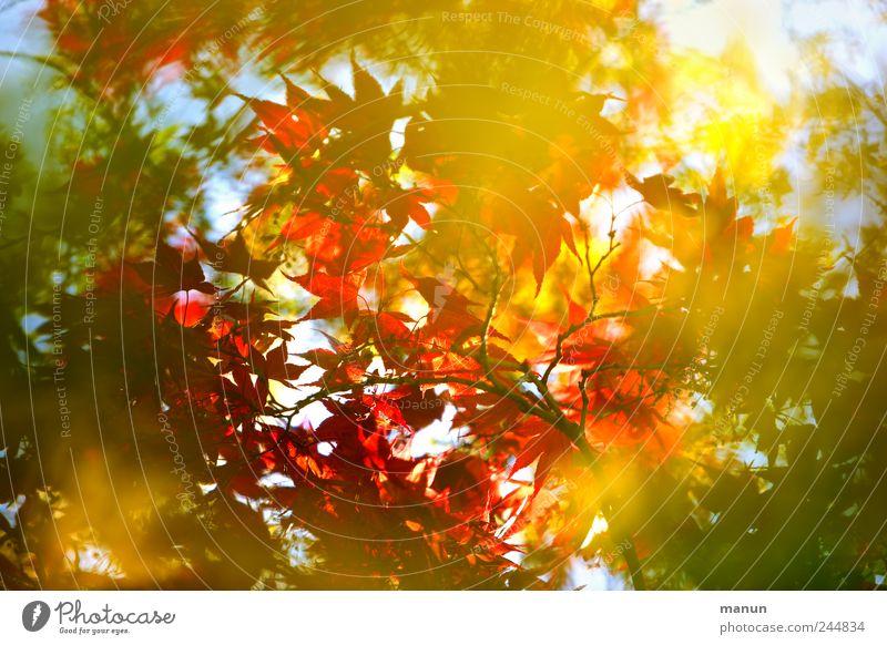 Buschfeuer Natur Herbst Baum Ahorn Ahornblatt Ahornzweig Zweige u. Äste Japanischer Ahorn herbstlich Herbstfärbung leuchten authentisch außergewöhnlich schön