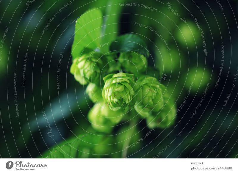 Hopfen im Sommer Umwelt Natur Frühling Pflanze Grünpflanze Nutzpflanze Wildpflanze Garten Wiese Feld grün Hopfenblüte Hopfenblatt Bier Augenbraue Reinheitsgebot