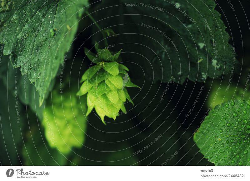 Junge Hopfenstaude nach dem Regen Gesunde Ernährung Pflanze grün Blatt Gesundheit Blüte Feld Wassertropfen Landwirtschaft Bier Stauden Nutzpflanze Grünpflanze