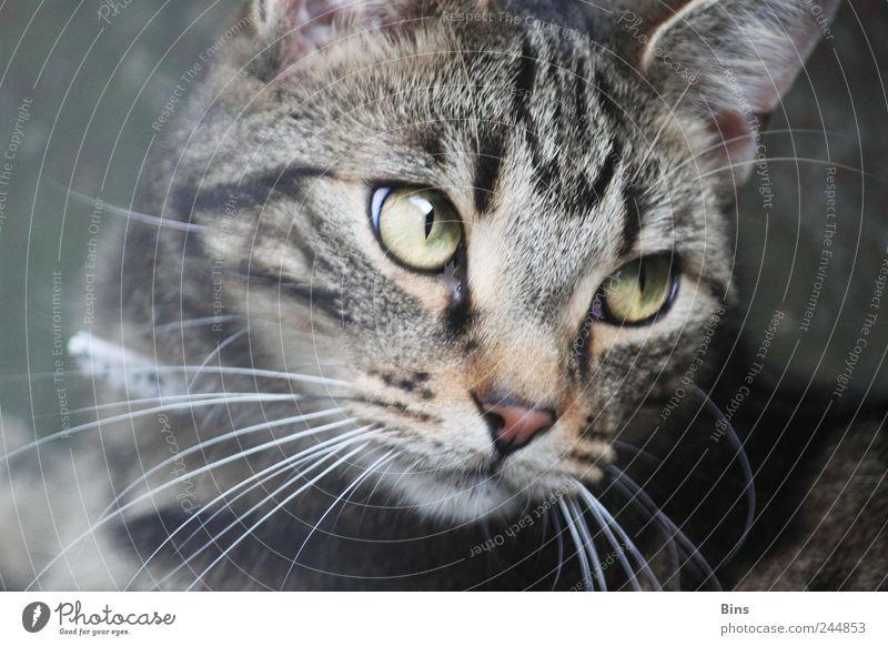 Kater grün schön ruhig Tier Gefühle grau Katze Zufriedenheit elegant Coolness nah Tiergesicht weich Fell Warmherzigkeit Neugier