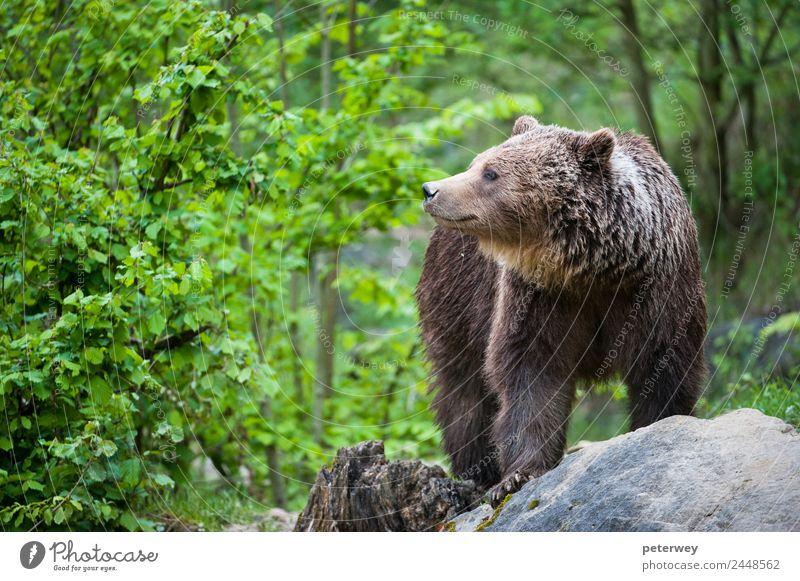 brown bear (lat. ursus arctos) stainding in the forest Ausflug Natur Tier Park 1 wandern bedrohlich Freundlichkeit braun grün Tierliebe animal beast beauty big